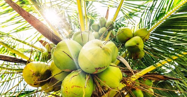 Indonesia cho phép sinh viên gặp khó khăn nộp dừa hoặc nông sản thay học phí - Ảnh 1.