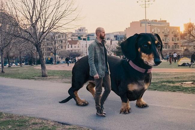 Bức ảnh chú chó khổng lồ to như con bò xuất hiện trên phố khiến dân mạng choáng váng, xem đến bức ảnh cuối lại càng ngỡ ngàng hơn nữa - Ảnh 3.