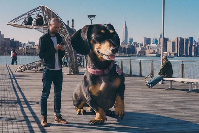 Bức ảnh chú chó khổng lồ to như con bò xuất hiện trên phố khiến dân mạng choáng váng, xem đến bức ảnh cuối lại càng ngỡ ngàng hơn nữa - Ảnh 4.