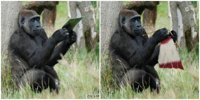 """Nhân viên sở thú bỏ quên cuộn len và kim chỉ trong chuồng khỉ đột, khi quay lại đã thấy con vật đan len khéo léo, khoảnh khắc khiến """"cõi mạng"""" dậy sóng - Ảnh 2."""
