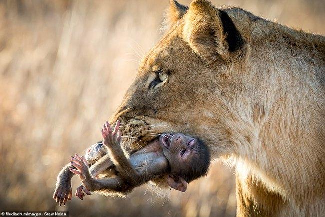"""Khoảnh khắc nhói lòng khi sư tử ngoạm chặt chuẩn bị """"đánh chén"""" chú khỉ con, đau đớn nhưng là quy luật nghiệt ngã của tự nhiên - Ảnh 1."""