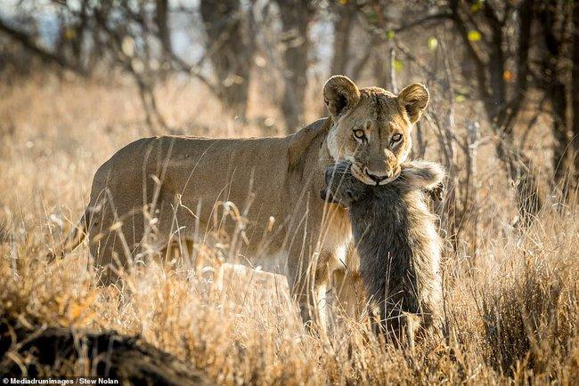 """Khoảnh khắc nhói lòng khi sư tử ngoạm chặt chuẩn bị """"đánh chén"""" chú khỉ con, đau đớn nhưng là quy luật nghiệt ngã của tự nhiên - Ảnh 3."""