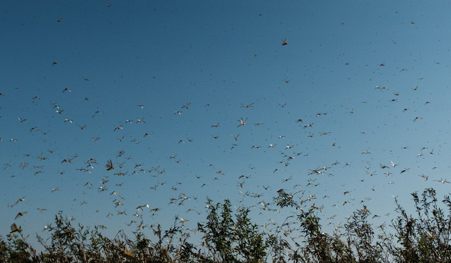 Phát hiện ra vị cứu tinh cho châu Phi: Có thể khoan thủng cánh côn trùng, tiêu diệt hàng trăm tỷ con châu chấu - Ảnh 3.