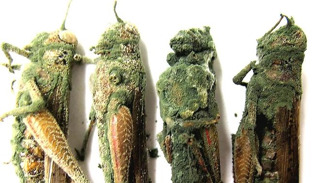 Phát hiện ra vị cứu tinh cho châu Phi: Có thể khoan thủng cánh côn trùng, tiêu diệt hàng trăm tỷ con châu chấu - Ảnh 4.