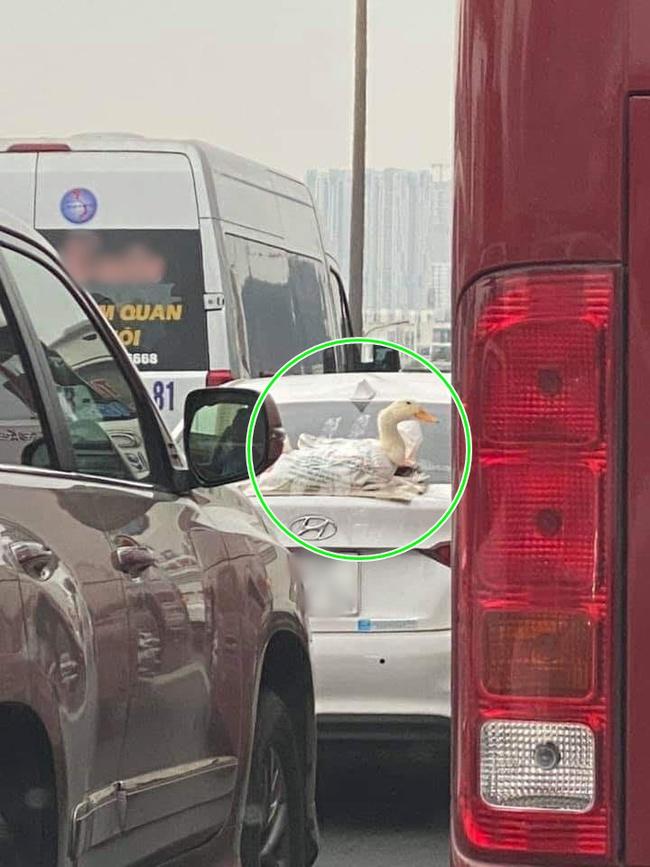 """Cười bể bụng với chú vịt thật dán băng dính phía sau đuôi ô tô, được chủ nhân lái đi """"phượt"""" khắp phố phường Hà Nội - Ảnh 3."""