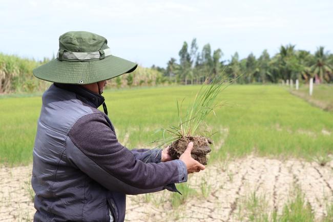Người dân Bến Tre lo sợ tái diễn hạn mặn lịch sử 2016, hàng nghìn héc-ta lúa trở thành thức ăn cho dê, bò - Ảnh 2.
