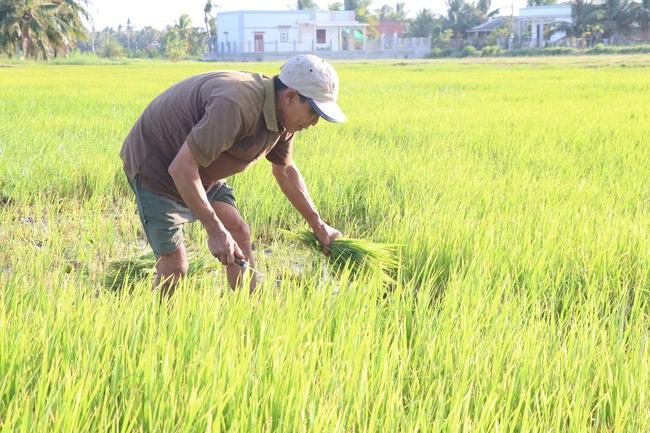 Người dân Bến Tre lo sợ tái diễn hạn mặn lịch sử 2016, hàng nghìn héc-ta lúa trở thành thức ăn cho dê, bò - Ảnh 4.