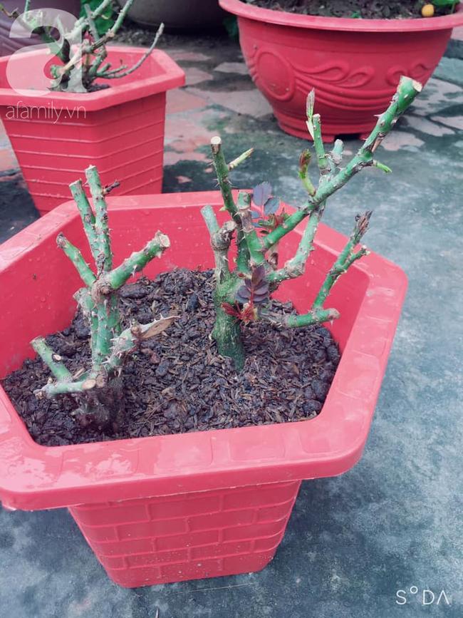 Sự thật về hồng rễ trần đang được bán giá rẻ như cho 10-15 ngàn đồng/gốc đầy chợ mạng mà chị em tới tấp mua về trồng - Ảnh 5.