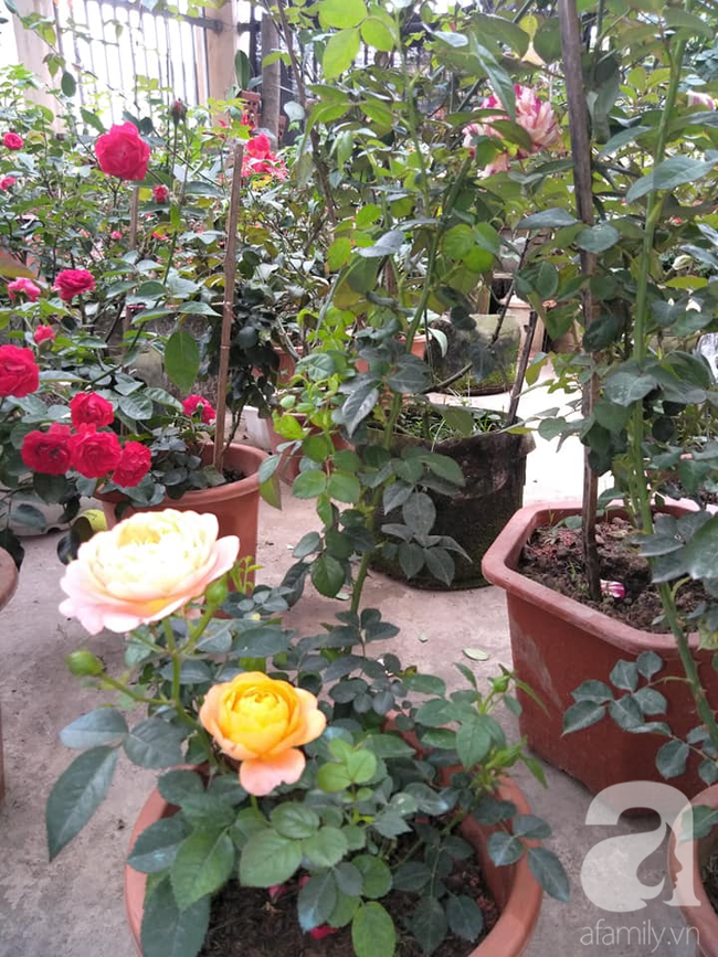 Sự thật về hồng rễ trần đang được bán giá rẻ như cho 10-15 ngàn đồng/gốc đầy chợ mạng mà chị em tới tấp mua về trồng - Ảnh 7.