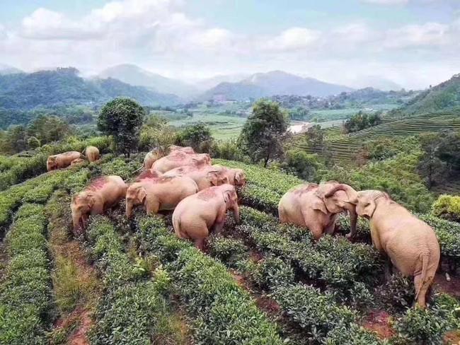 Chuyện thật như đùa: Đàn voi đột nhập vườn ngô uống hết 30kg rượu, rồi say sưa ngủ ở đồi chè bên cạnh - Ảnh 1.