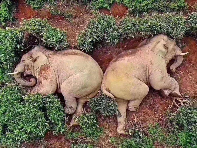Chuyện thật như đùa: Đàn voi đột nhập vườn ngô uống hết 30kg rượu, rồi say sưa ngủ ở đồi chè bên cạnh - Ảnh 2.