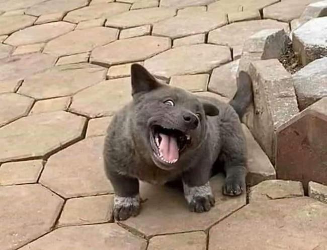 """Dân mạng ngỡ ngàng phát hiện chú chó Dúi idol có em sinh đôi, thần thái giống hệt Dúi chỉ khác mỗi màu lông và mắt không bị """"lé"""" - Ảnh 7."""