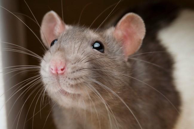Một người đàn ông tử vong trên xe buýt tại Trung Quốc dương tính loại virus lây nhiễm từ chuột sang người - Ảnh 3.