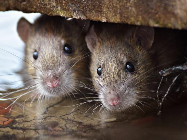 Một người đàn ông tử vong trên xe buýt tại Trung Quốc dương tính loại virus lây nhiễm từ chuột sang người - Ảnh 4.