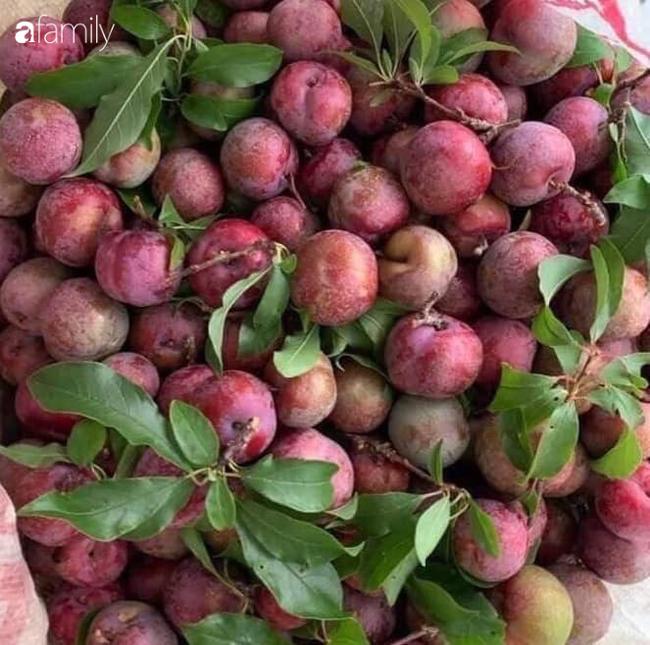 Mận hậu Sơn La đầu mùa bao to, giòn, ngon giá 100 ngàn/kg vẫn hút khách mua, bán online được vài chục kg/ngày - Ảnh 4.