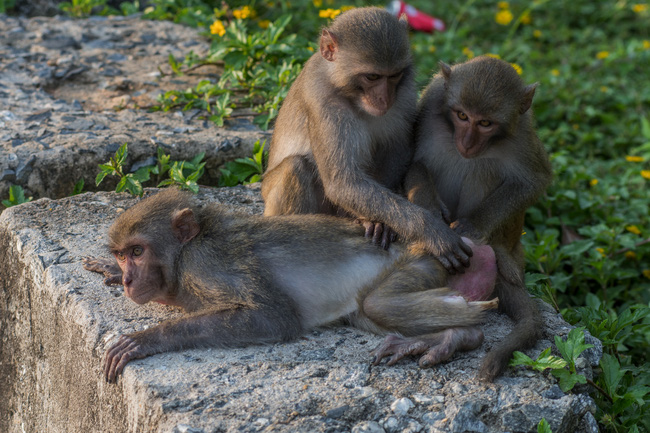 SỐC: Khỉ con mình đầy thương tích, què quặt, lòi xương, sống lay lắt ở bán đảo Sơn Trà và ánh mắt