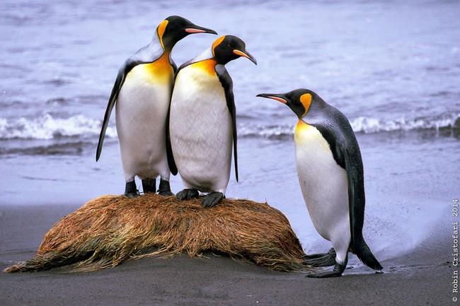 """Khí cười trong phân chim cánh cụt khiến các nhà khoa học bị """"đơ"""" - Ảnh 1."""
