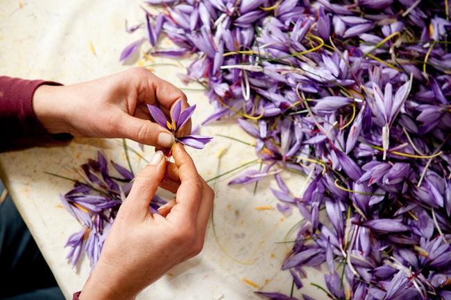 """Cận cảnh quá trình thu hoạch saffron - thứ gia vị đắt nhất thế giới được mệnh danh """"vàng đỏ"""" có giá hàng tỷ đồng 1kg, từng được Nữ hoàng Ai Cập dùng để dưỡng nhan - Ảnh 3."""