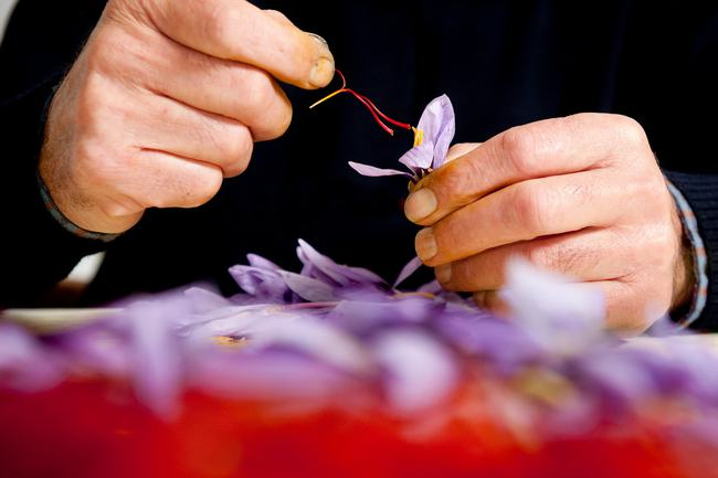 """Cận cảnh quá trình thu hoạch saffron - thứ gia vị đắt nhất thế giới được mệnh danh """"vàng đỏ"""" có giá hàng tỷ đồng 1kg, từng được Nữ hoàng Ai Cập dùng để dưỡng nhan - Ảnh 6."""