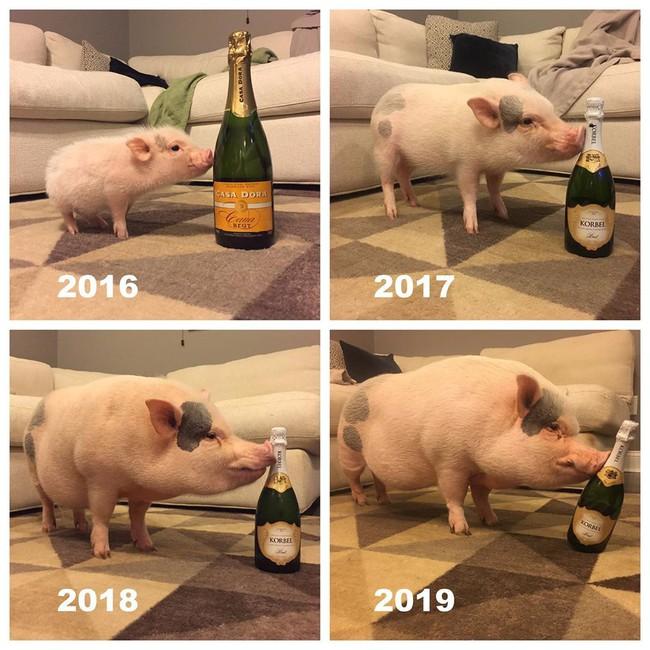 Chú lợn 3 tuổi nổi tiếng trên Instagram với hơn 400k follow đã qua đời vì biến chứng phẫu thuật! - Ảnh 3.