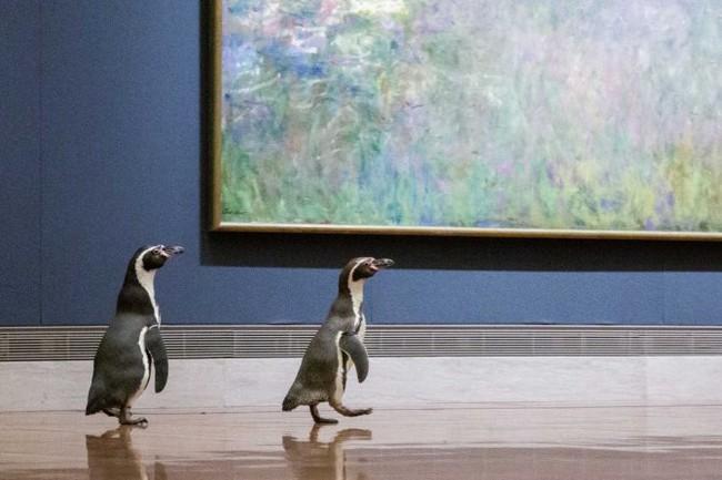 Ba chú chim cánh cụt được mời đến tham quan và thưởng thức nghệ thuật đỉnh cao trong bảo tàng Mỹ vào mùa cách ly - Ảnh 1.