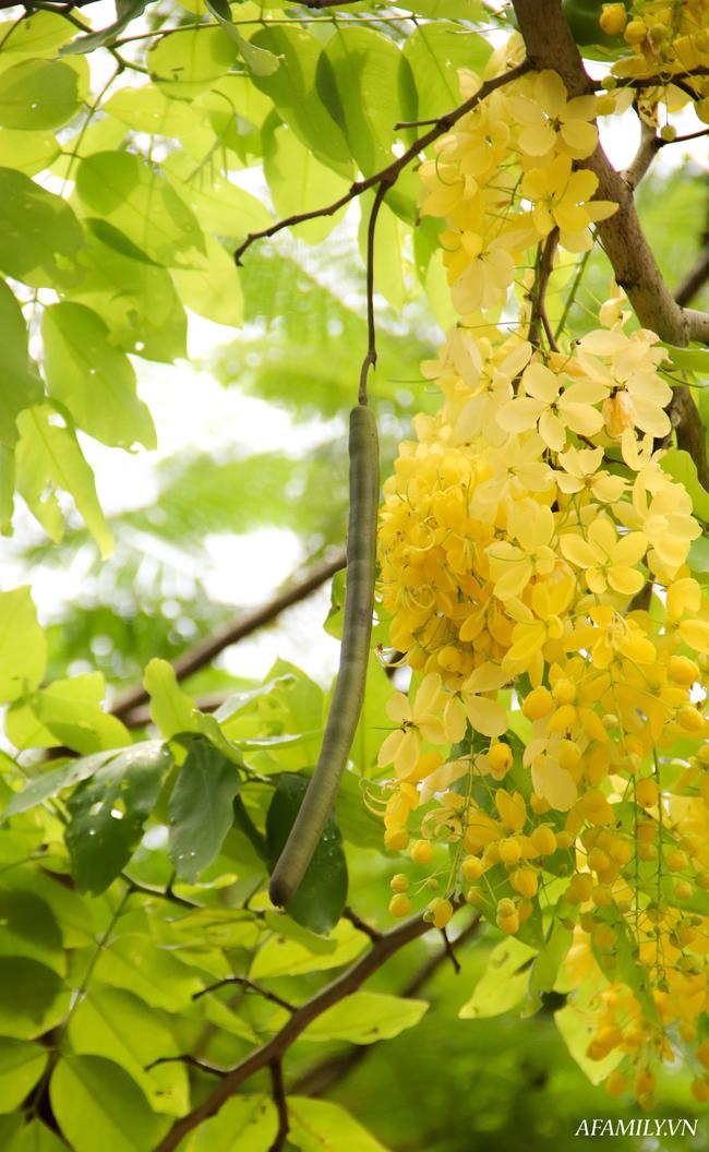 Muồng hoàng yến níu trải dọc bên bờ Hồ Tây, sắc vàng nhuộm nắng gợi nhớ những rung động của mùa hè năm tuổi đôi mươi ấy - Ảnh 2.