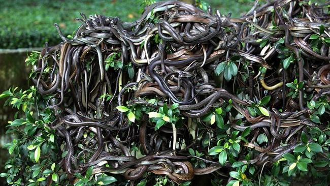 Hòn đảo cấm con người đặt chân đến bởi có hàng nghìn con rắn cực độc cùng những cái chết bí ẩn không lời giải đáp - Ảnh 3.