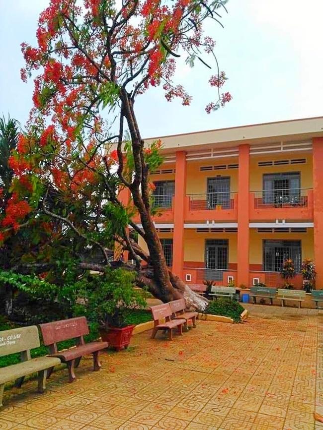 Lại thêm một cây phượng cao lớn bật gốc trong sân trường ở Đồng Nai - Ảnh 1.