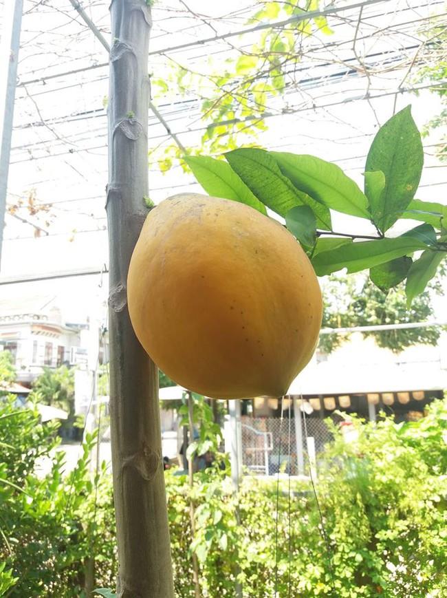 """Cây đu đủ cằn cỗi vẫn dồn hết sinh lực nuôi một trái duy nhất, nhìn quả siêu to siêu khổng lồ dân mạng chắc mẩm: """"Sẽ ngon ngọt lắm đây"""" - Ảnh 3."""