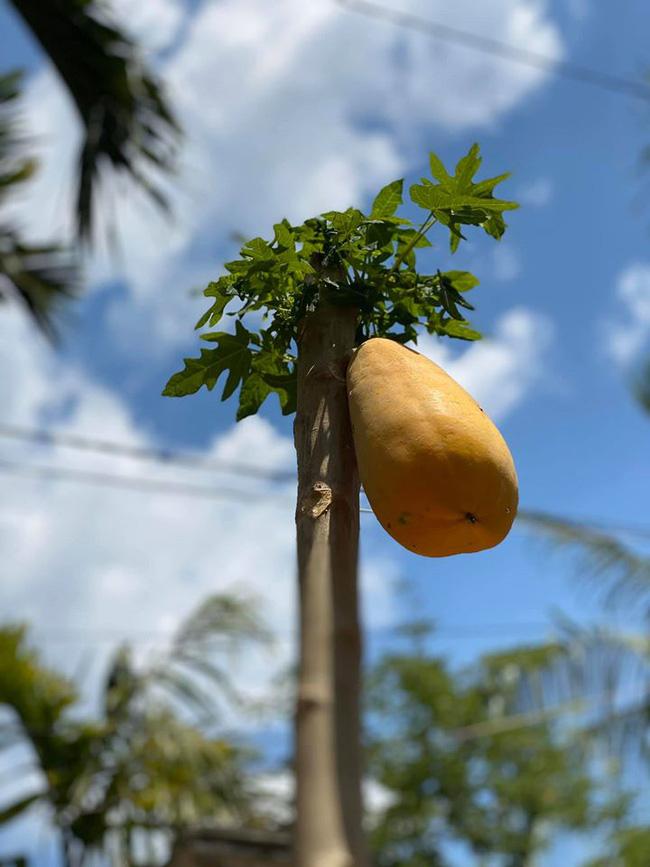 """Cây đu đủ cằn cỗi vẫn dồn hết sinh lực nuôi một trái duy nhất, nhìn quả siêu to siêu khổng lồ dân mạng chắc mẩm: """"Sẽ ngon ngọt lắm đây"""" - Ảnh 1."""