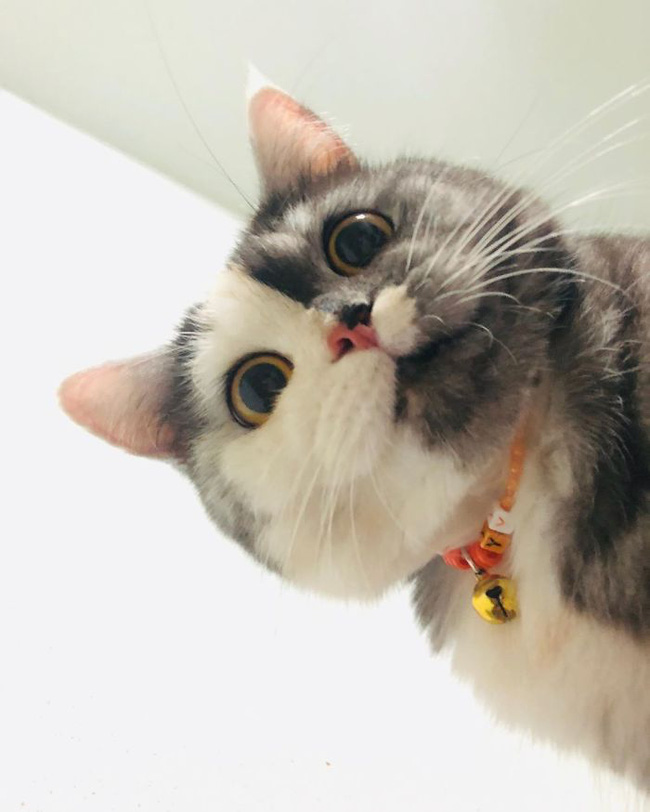"""Dân mạng phát cuồng vì bé mèo """"2 mặt"""" ú na ú nần đến từ Thái Lan - Ảnh 5."""