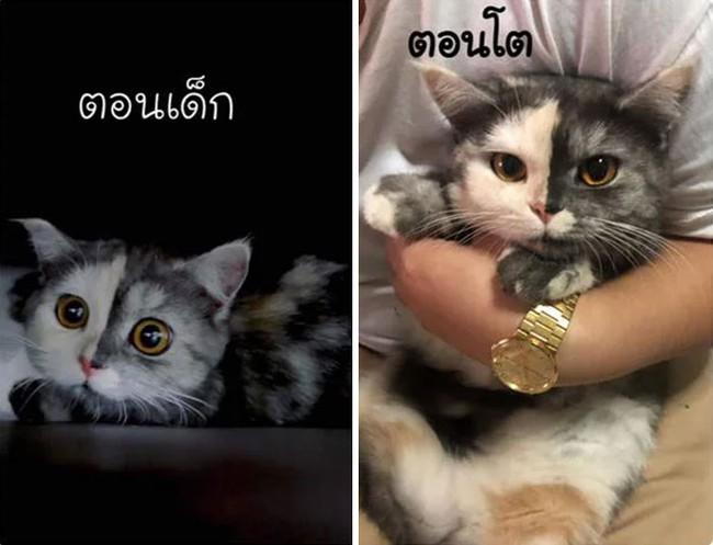 """Dân mạng phát cuồng vì bé mèo """"2 mặt"""" ú na ú nần đến từ Thái Lan - Ảnh 4."""
