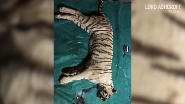 Số phận bi thảm của hổ, sư tử nuôi nhốt ở Nam Phi: 12.000 cá thể chờ chết phục vụ săn bắn mua vui và lấy xương cốt  - Ảnh 4.