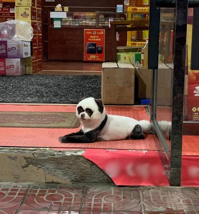 """Con vật kỳ lạ nằm buồn thiu trước cửa tiệm tạp hóa khiến ai cũng phải ngoái nhìn, ngạc nhiên vì bộ lông giống hệt """"quốc bảo"""" gấu trúc - Ảnh 2."""