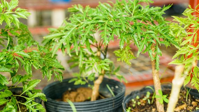 6 loại cây vừa trang trí không gian sống vừa giúp chữa bệnh hữu hiệu tại nhà - Ảnh 10.