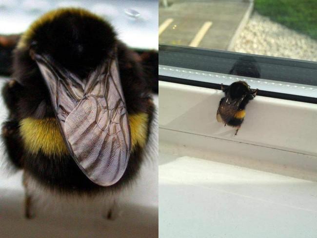 """Chú ong bị """"thần heo nhập"""", vì quá chăm chỉ hút mật nên độ béo ục ịch không cất nổi cánh bay! - Ảnh 1."""