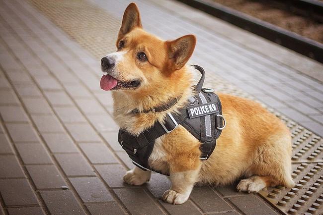 Tin buồn cho người hâm mộ chú chó nghiệp giống Corgi duy nhất tại Nga: Nghỉ hưu sau 7 năm làm nghề tại đồn cảnh sát - Ảnh 1.