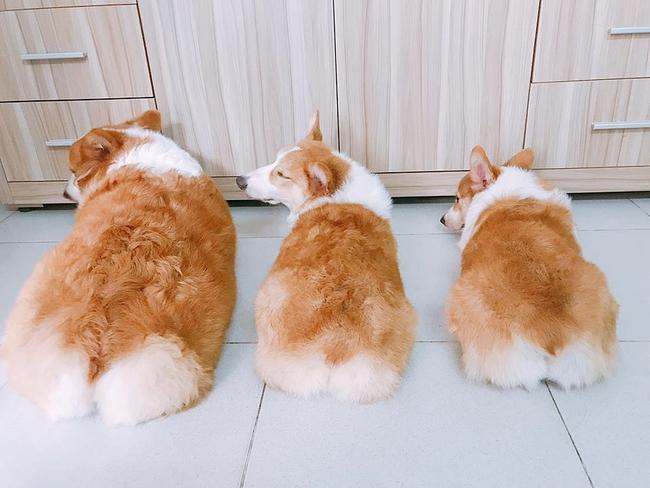 Chú chó Corgi nổi tiếng nhất mạng xã hội Việt - Ảnh 1.
