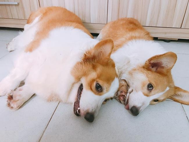 Chú chó Corgi nổi tiếng nhất mạng xã hội Việt vì tài ngủ 23 tiếng/ ngày, chỗ nào cũng bất chấp lăn ra ngáy - Ảnh 11.