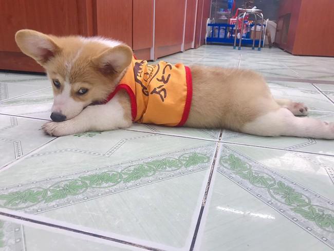 Chú chó Corgi nổi tiếng nhất mạng xã hội Việt vì tài ngủ 23 tiếng/ ngày, chỗ nào cũng bất chấp lăn ra ngáy - Ảnh 8.