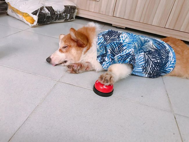 Chú chó Corgi nổi tiếng nhất mạng xã hội Việt vì tài ngủ 23 tiếng/ ngày, chỗ nào cũng bất chấp lăn ra ngáy - Ảnh 16.