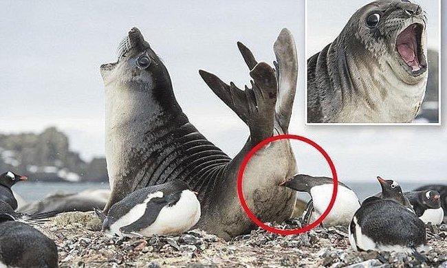"""Bức ảnh chú hải cẩu Nam Cực hoảng hốt khi bị chim cánh cụt làm trò """"chơi khăm"""" sau lưng khiến ai cũng phải bật cười - Ảnh 1."""