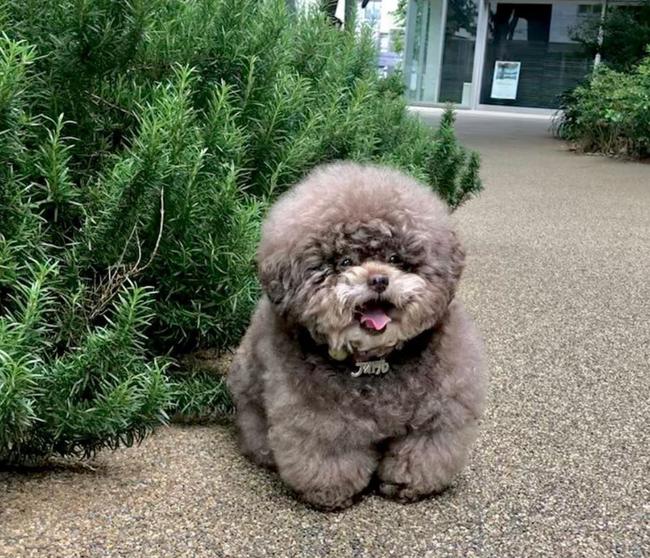 Dân mạng cười rần rần với cô chó Poodle mũm mĩm có dáng ngồi dỗi hờn cả thế giới, ngờ đâu đó lại là đại tiểu thư vạn người mê, tự đóng quảng cáo kiếm tiền cực xịn - Ảnh 9.