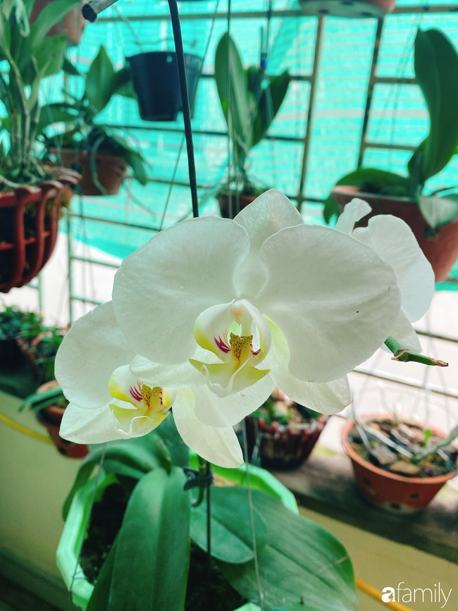 Ngắm ngôi nhà 3 tầng ở Thái Bình với hành lang được trồng 100 giò phong lan khoe sắc 4 mùa khiến hàng xóm đi qua ai cũng ngẩn ngơ - Ảnh 6.