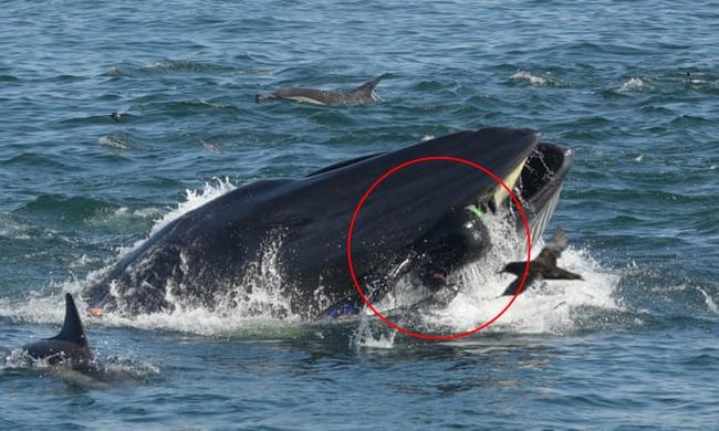 Khoảnh khắc ấn tượng khi cá voi ngoạm người đàn ông trong miệng chỉ thấy được đầu và một phần thi thể, kết cục của câu chuyện khó ngờ hơn - Ảnh 2.