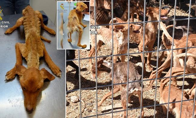 Nhận được tin mật, cảnh sát đột nhập trang trại nuôi chó và phát hiện hàng chục con chó gầy giơ xương, yếu ớt đến sắp chết - Ảnh 2.