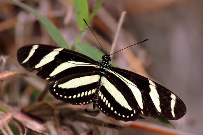 Bí mật không hề dễ chịu về loài bươm bướm: Phía sau những cánh bướm xinh đẹp rập rờn trong vườn hoa là cảnh hãm hiếp, ăn thịt để duy trì sự sống - Ảnh 6.
