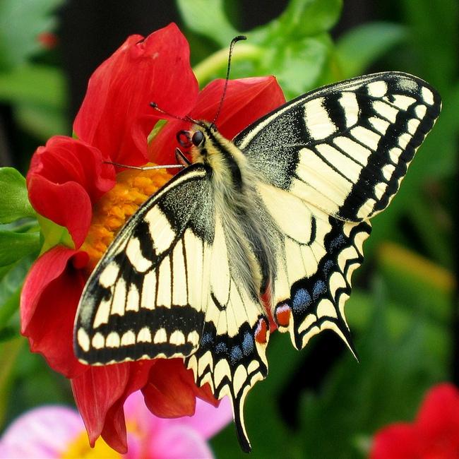 Bí mật không hề dễ chịu về loài bươm bướm: Phía sau những cánh bướm xinh đẹp rập rờn trong vườn hoa là cảnh hãm hiếp, ăn thịt để duy trì sự sống - Ảnh 1.