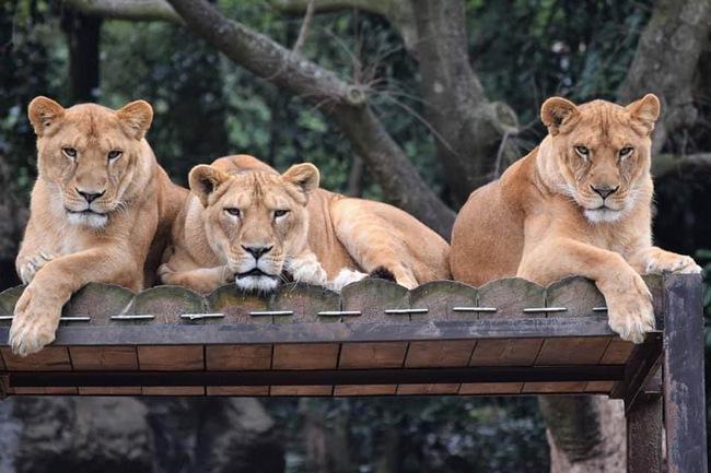"""Cười ngả nghiêng cảnh nhân viên sở thú mặc đồ đóng giả sư tử diễn tập cảnh xổng chuồng trước sự chứng kiến """"tuột mood"""" của đám sư tử thật  - Ảnh 3."""