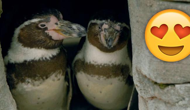 """Những sự thật thú vị về chim cánh cụt khiến bạn phải """"ố á"""" vì ngạc nhiên, hóa ra loài vật dễ thương này còn có cả kho tàng những câu chuyện hài hước - Ảnh 4."""